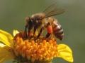 زنبور عسل (11)