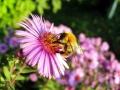 زنبور عسل (12)