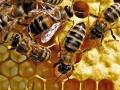 زنبور عسل (2)