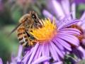 زنبور عسل (4)