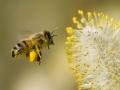 زنبور عسل (6)
