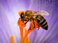 زنبور عسل (7)