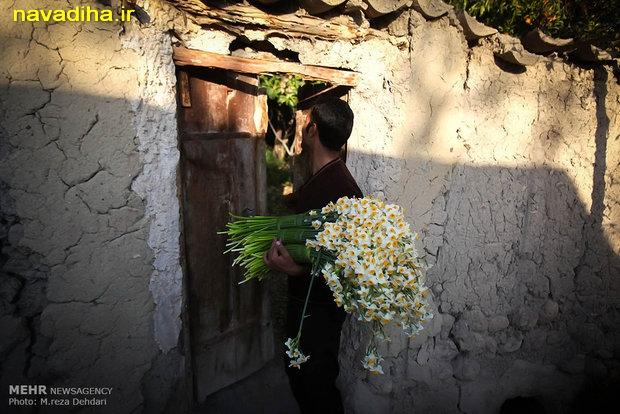 عکس گل نرگس شیراز
