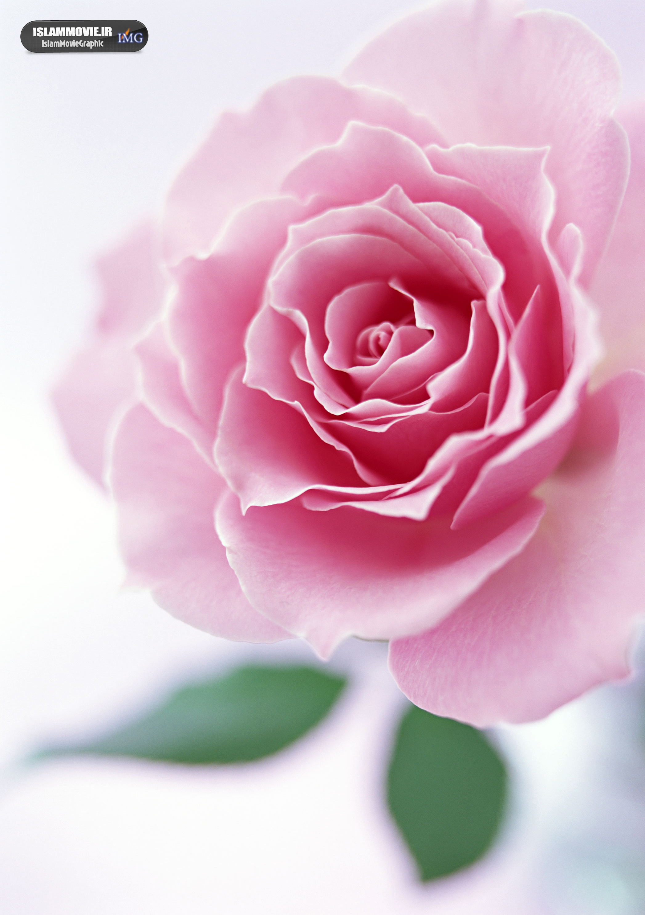 دانلود عکس والپیپر با کیفیت عالی گل رز و گل بهاری WIDE HD ...