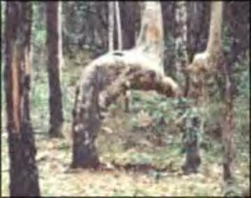 عجایب جهان اسلام – درختی در حال رکوع