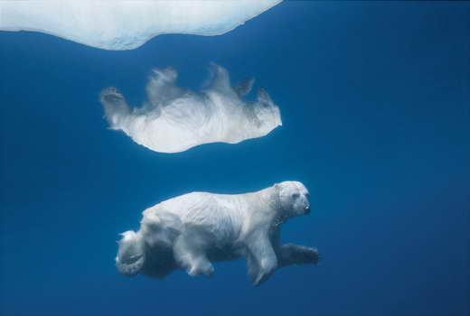 Polar Bear, Svalbard. (Photo by Paul Nicklen)